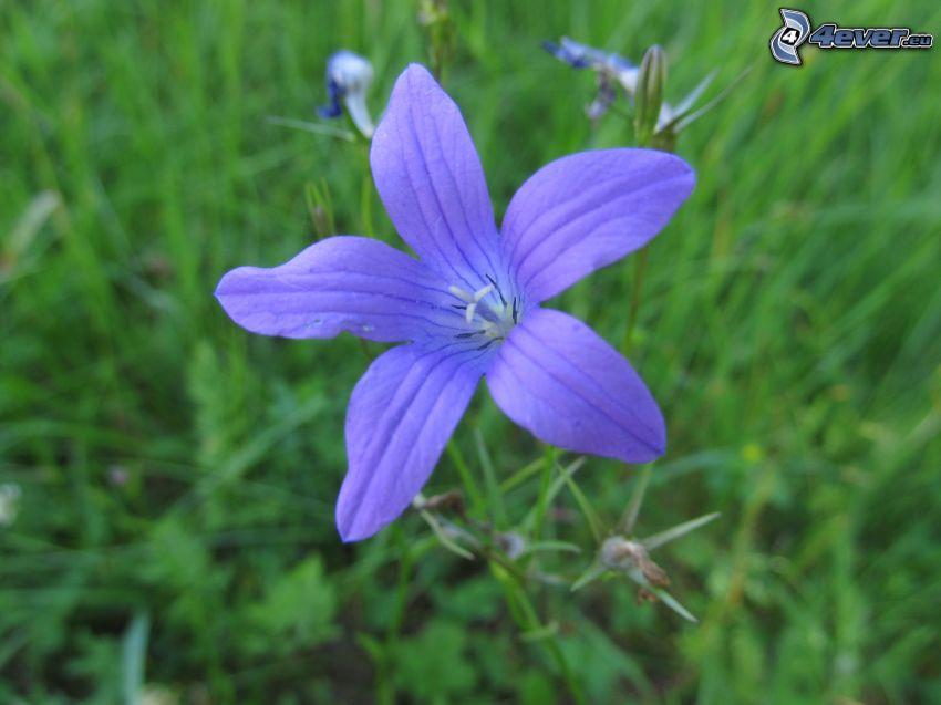la fleur des prairies