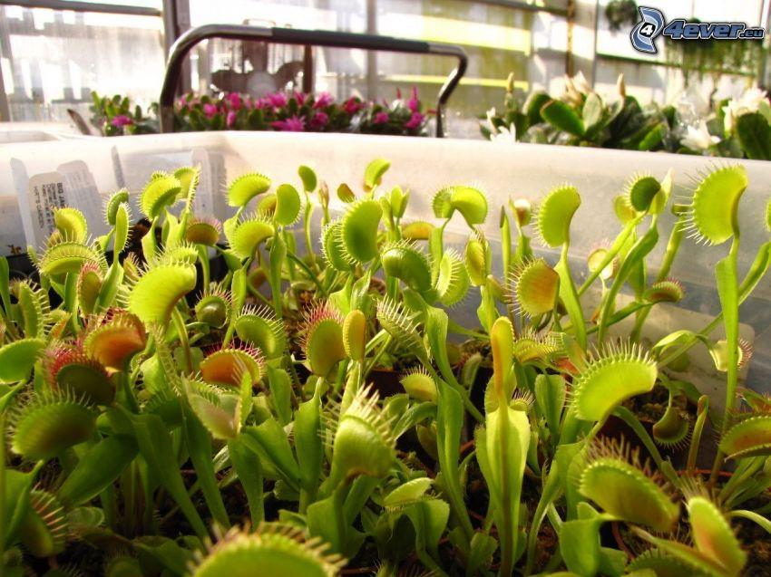 la plante carnivore, venus flytrap