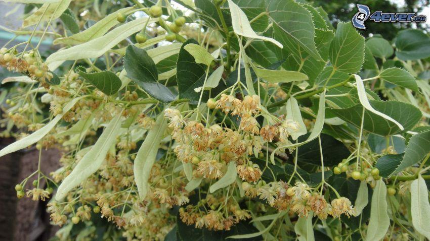 le tilleul, feuilles