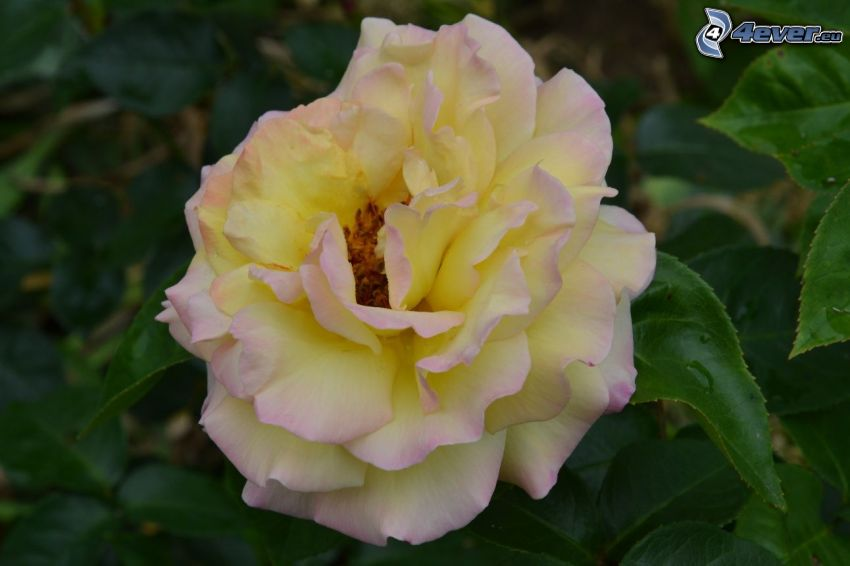 Les roses jaunes, fleur