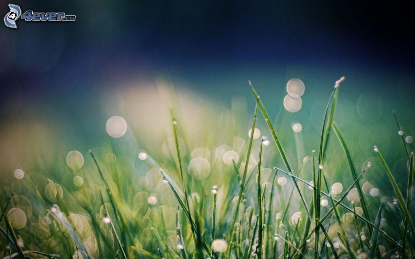 l'herbe, gouttes d'eau