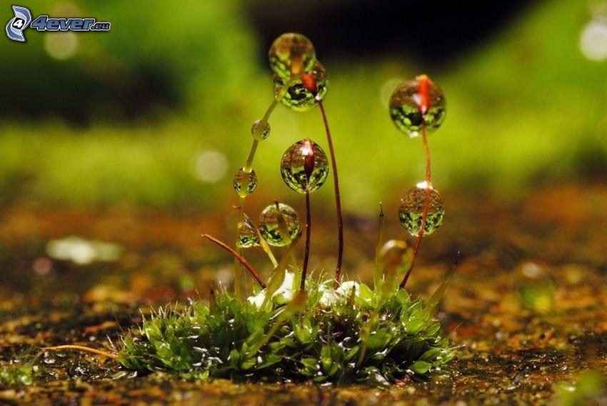 l'herbe rosée, gouttes d'eau