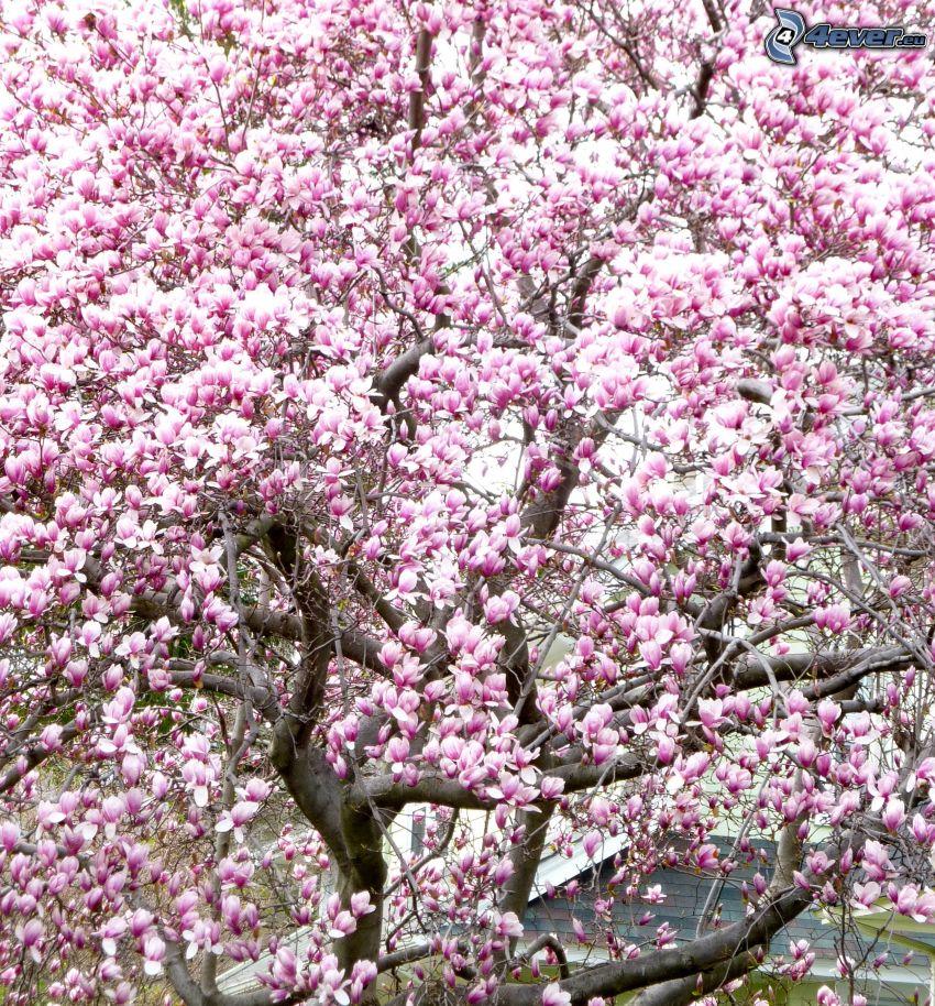 magnolia, arbre rose