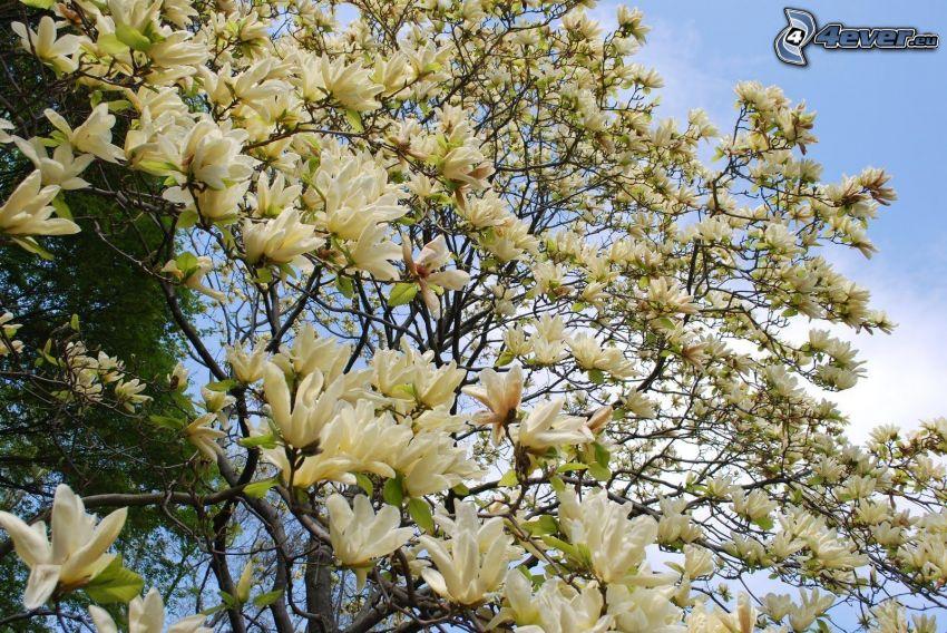 magnolia, fleurs blanches