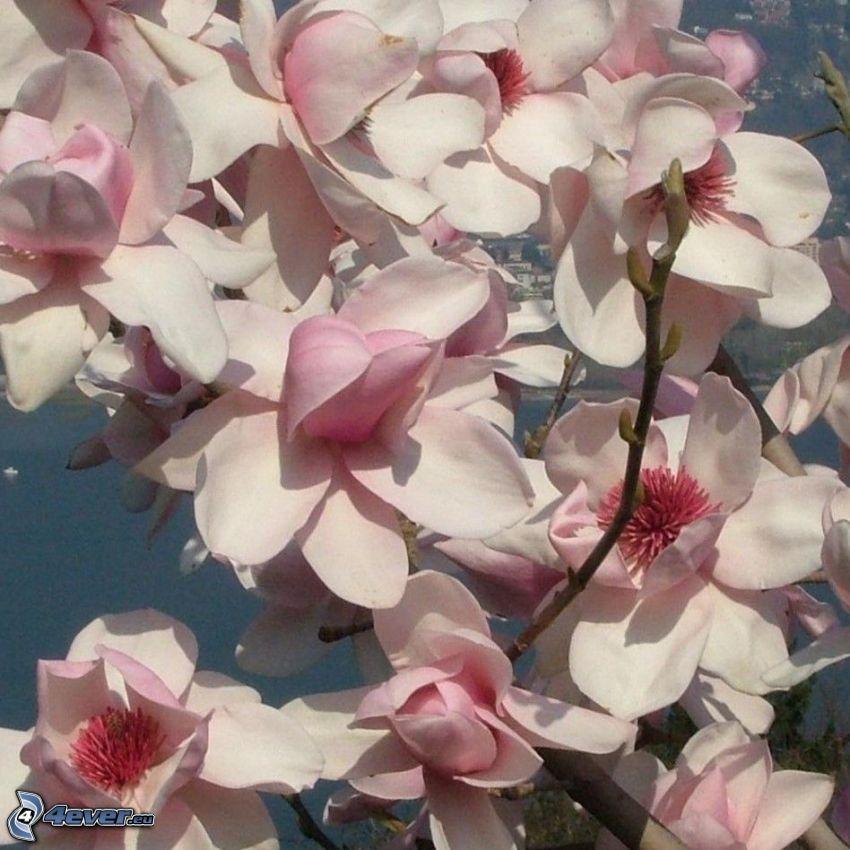magnolia, fleurs roses