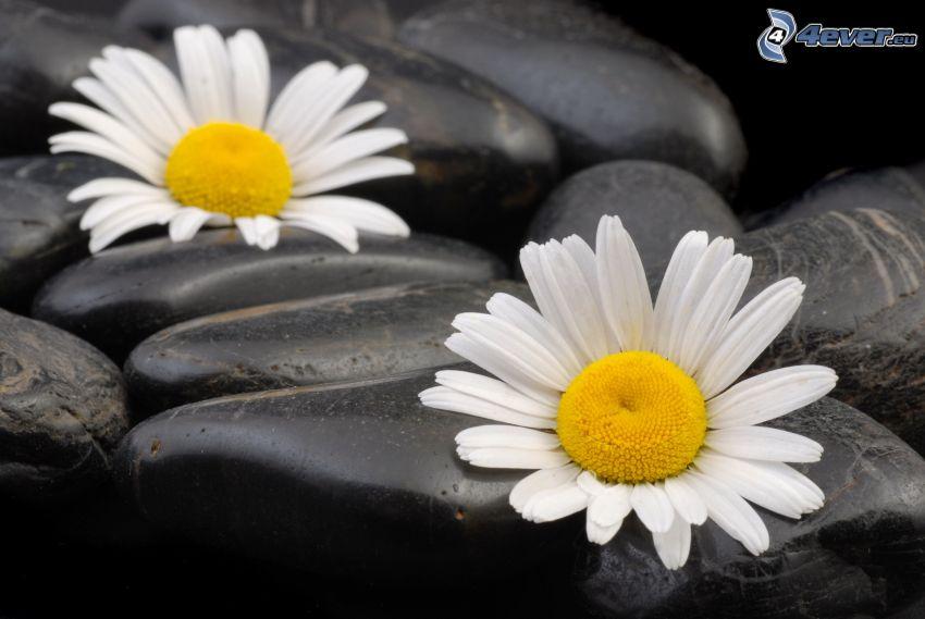 marguerites, pierres