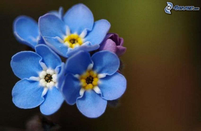 Myosotis des bois, fleurs bleues