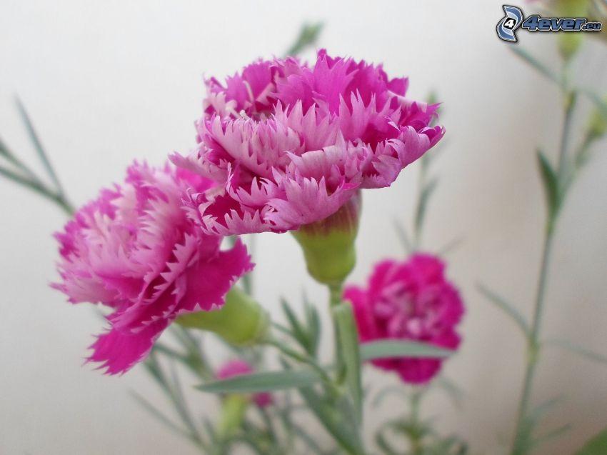 oeillets, fleurs roses
