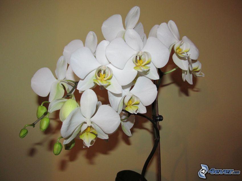 Orchidée, fleur, plante