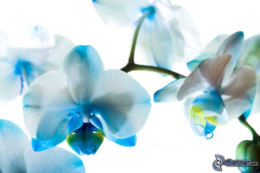 orchidées, fleurs bleues