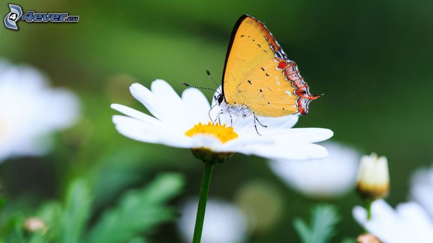 papillon sur fleur, marguerites