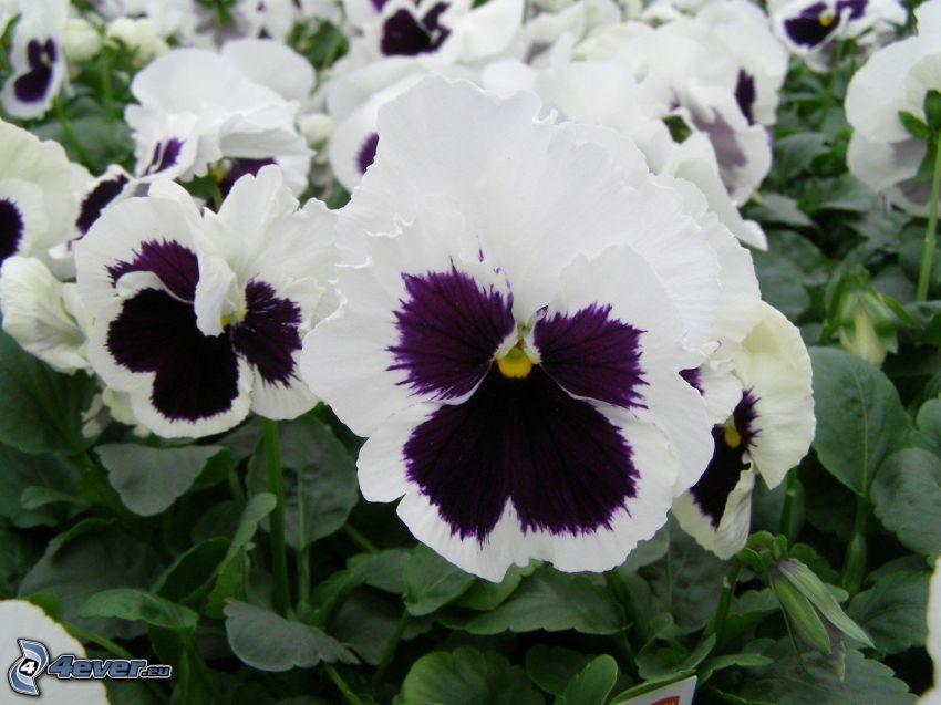 pensées, fleurs blanches, fleurs violettes