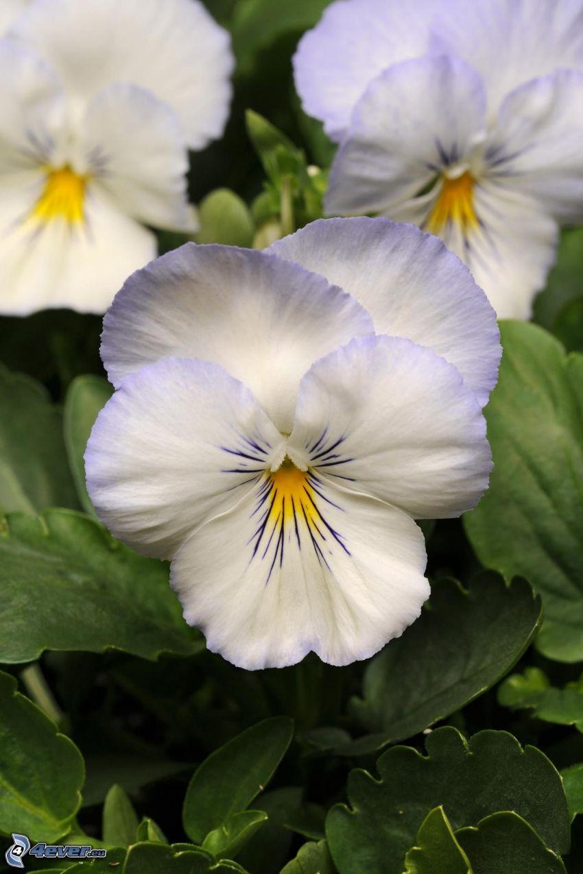 pensées, fleurs blanches