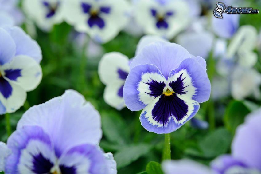 pensées, fleurs bleues