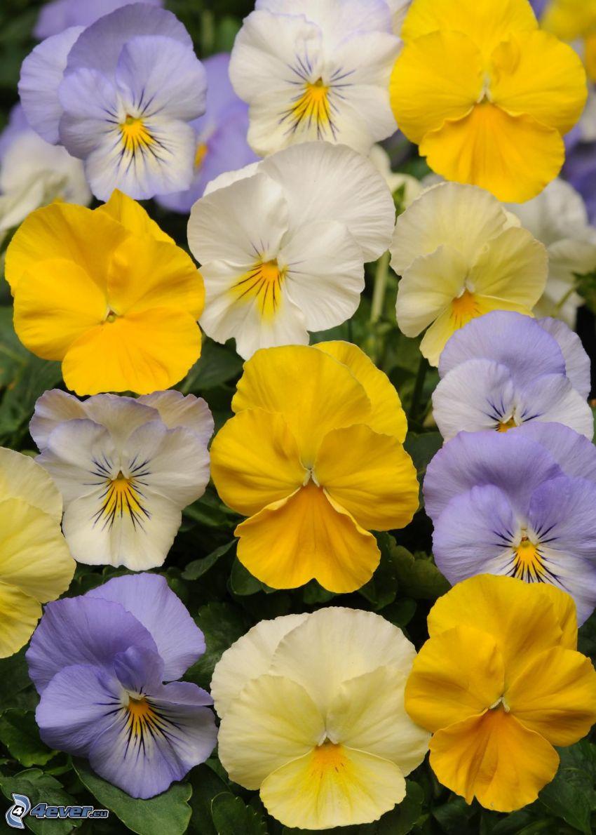 pensées, fleurs jaunes, fleurs blanches, fleurs violettes