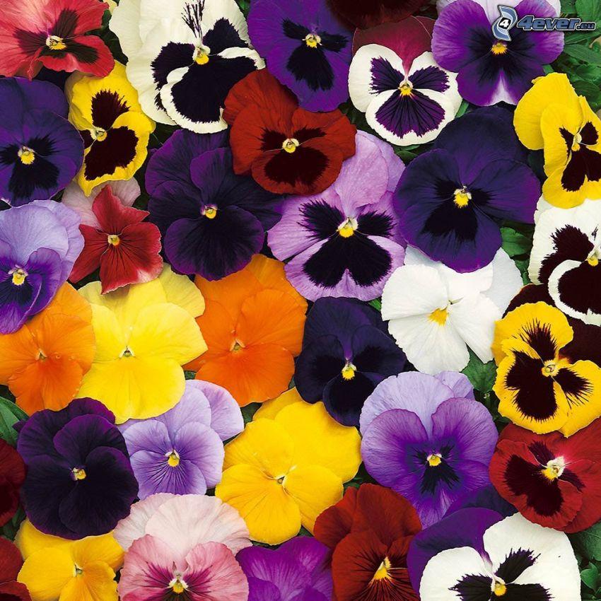 pensées, fleurs jaunes, fleurs violettes, fleurs blanches, fleurs oranges, fleurs rouges