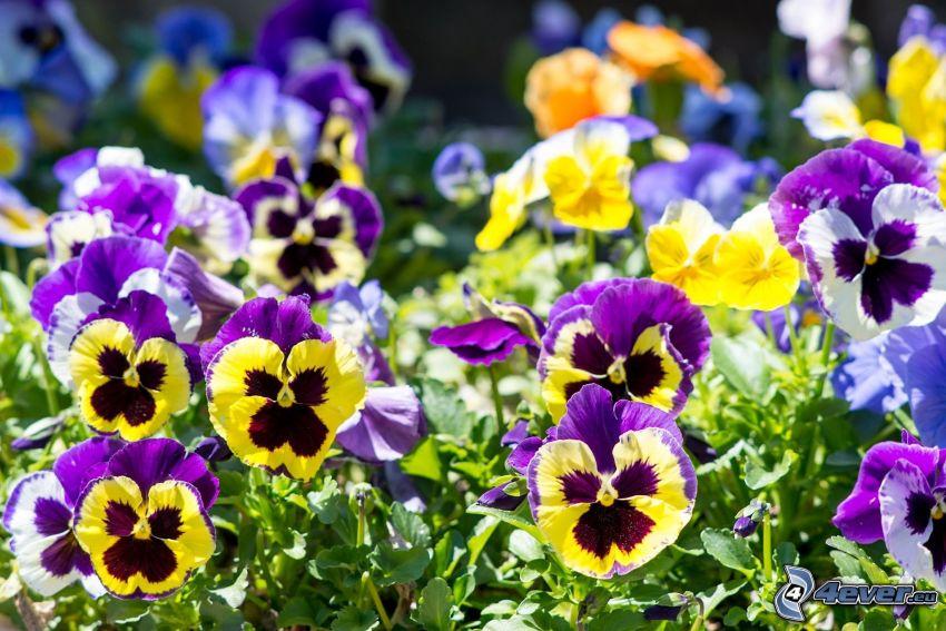 pensées, fleurs jaunes, fleurs violettes, fleurs bleues
