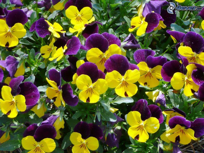 pensées, fleurs jaunes, fleurs violettes