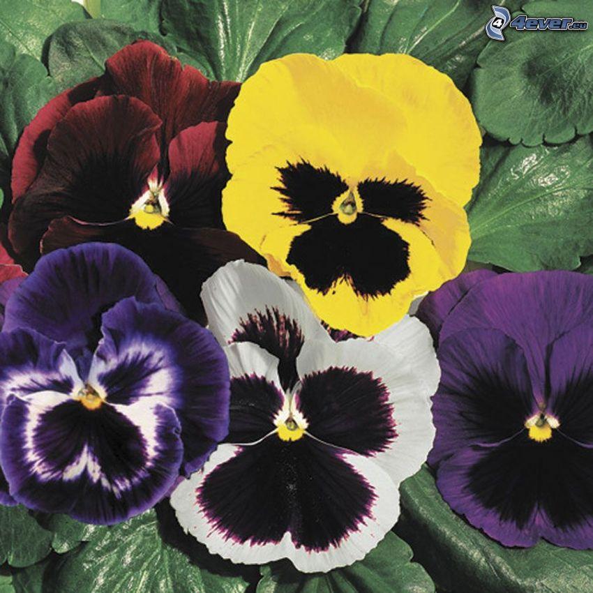 pensées, fleurs violettes, fleurs jaunes, fleurs blanches, fleurs rouges