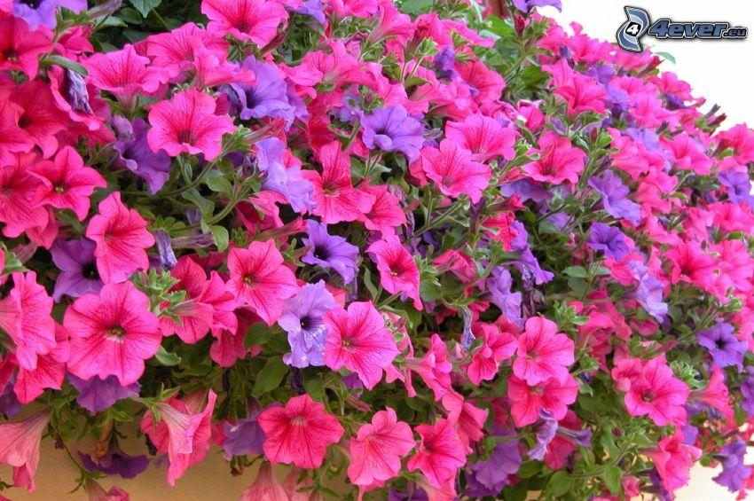 Pétunia, fleurs roses