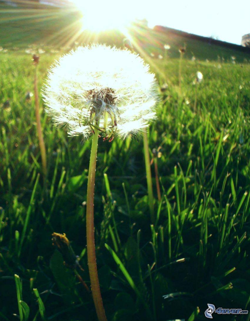 pissenlit défleuri, soleil, l'herbe, rayons du soleil