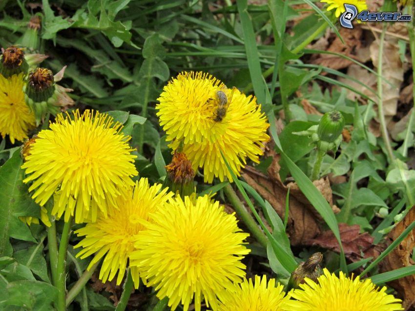 pissenlits, abeille, l'herbe