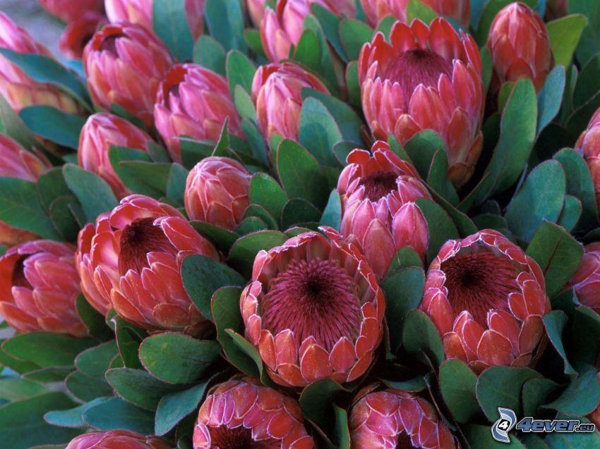 Protea, fleur, feuilles