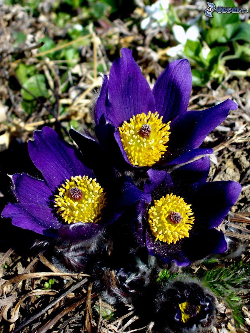 Pulsatilla, fleur