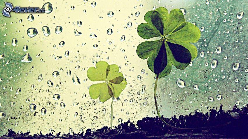 quatre-feuilles, gouttes d'eau