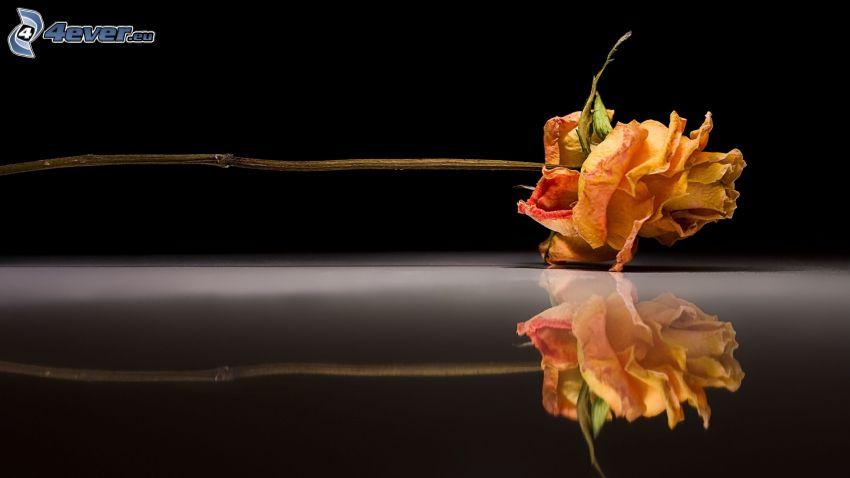 rose, fleurs séchées