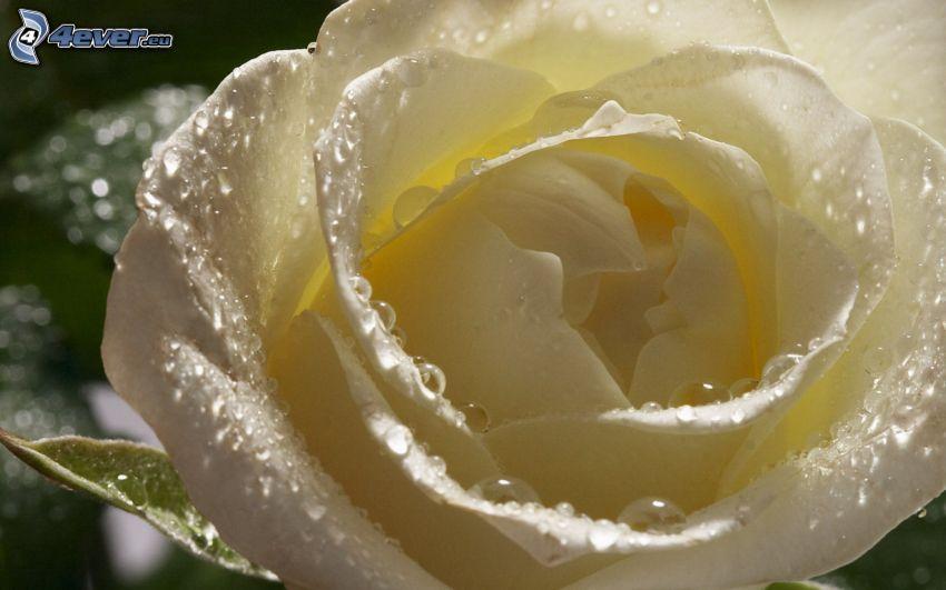 Rose blanche, gouttes d'eau