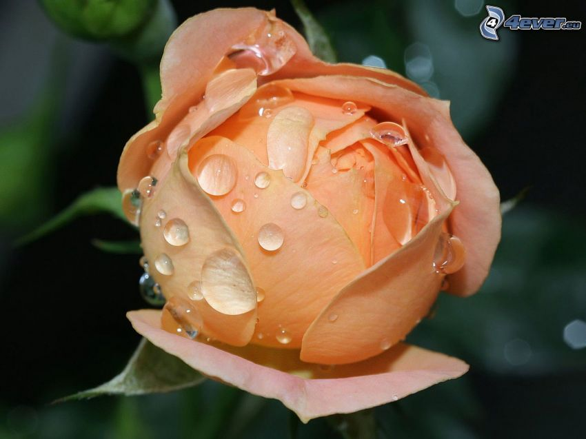 rose orange, rose rosée