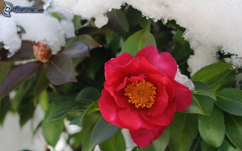 rose rouge, neige