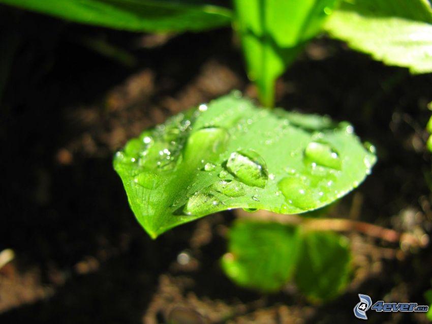 rosée sur une feuille, feuille verte