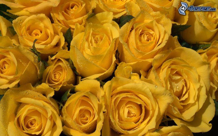 roses jaunes, rosée