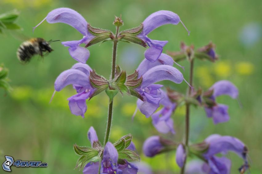 sclarée, fleurs violettes, bourdon