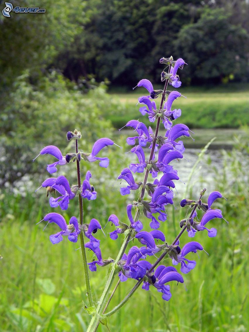 sclarée, fleurs violettes, forêt