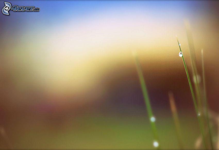 tige d'herbe, goutte d'eau
