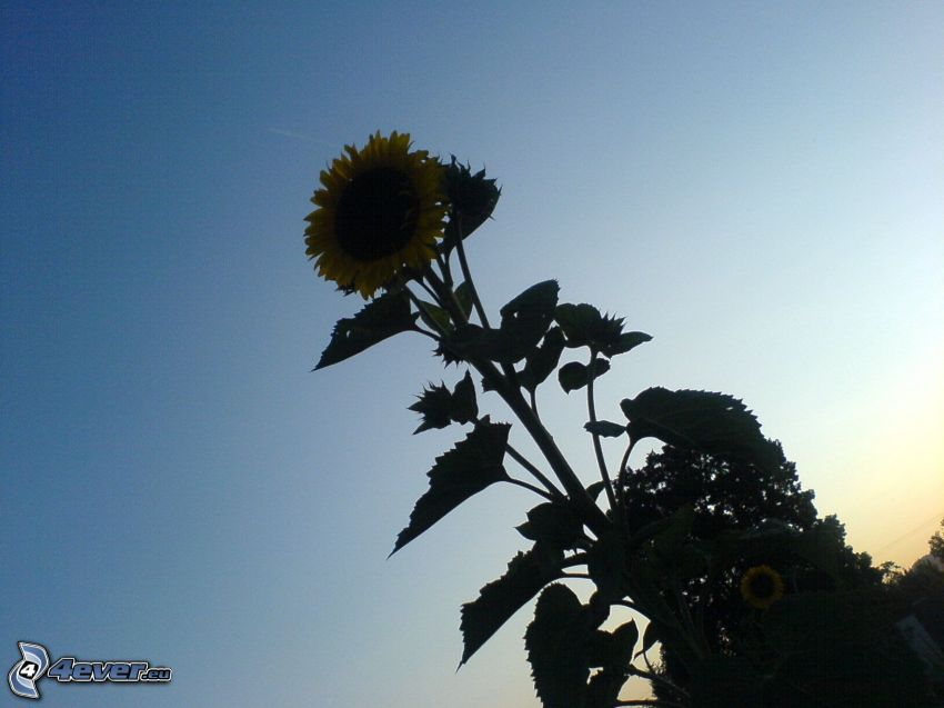 tournesol, fleur, ciel