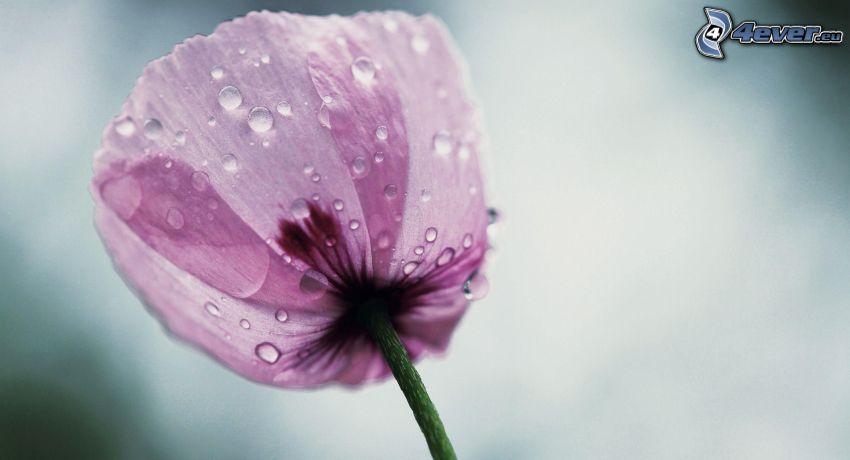 tulipe violette, gouttes d'eau