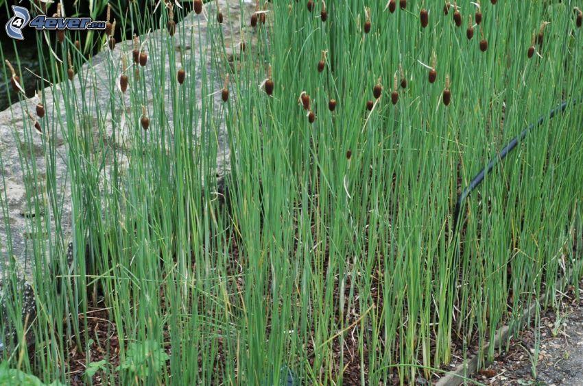 typhaceae, l'herbe haute