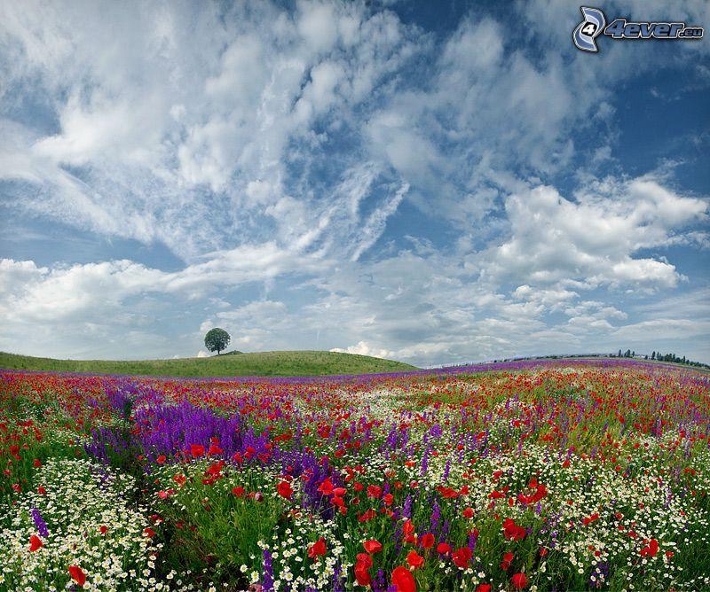 prairie, coquelicot, fleurs blanches, fleurs violettes, arbre solitaire, nuages