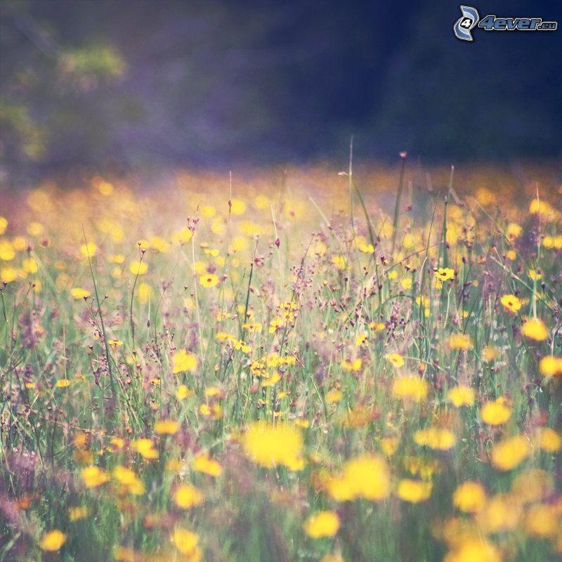 prairie, pissenlits, fleurs des champs
