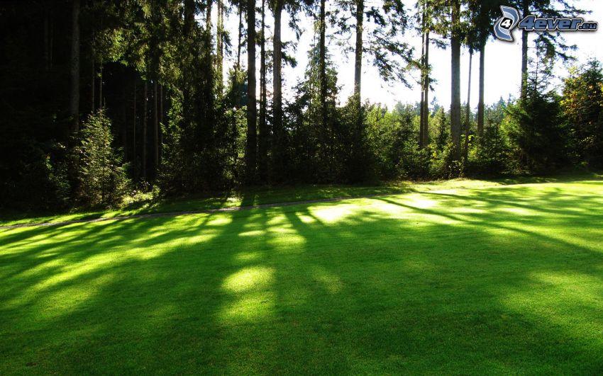 prairie verte, forêt de conifères