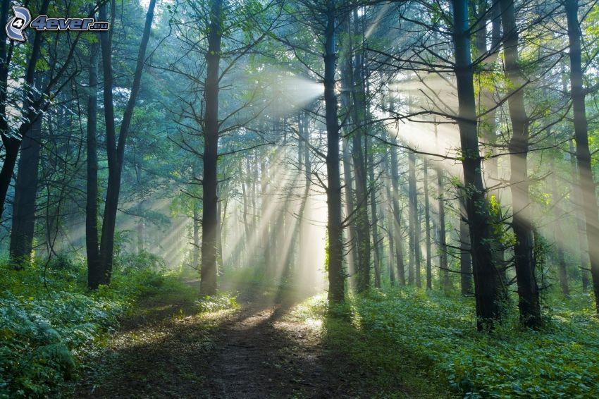 rayons de soleil dans la forêt, chemins forestier