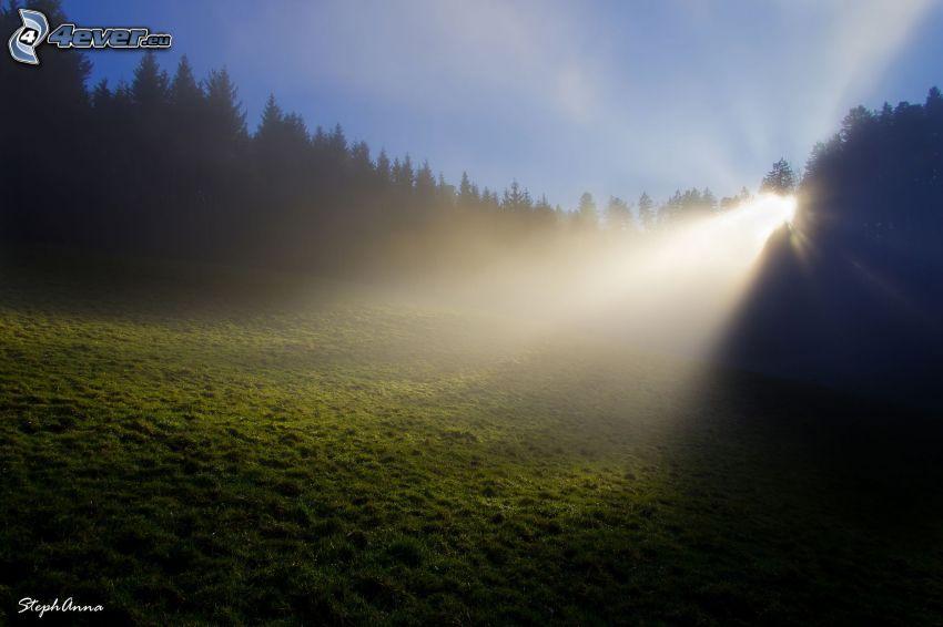 rayons du soleil, forêt de conifères