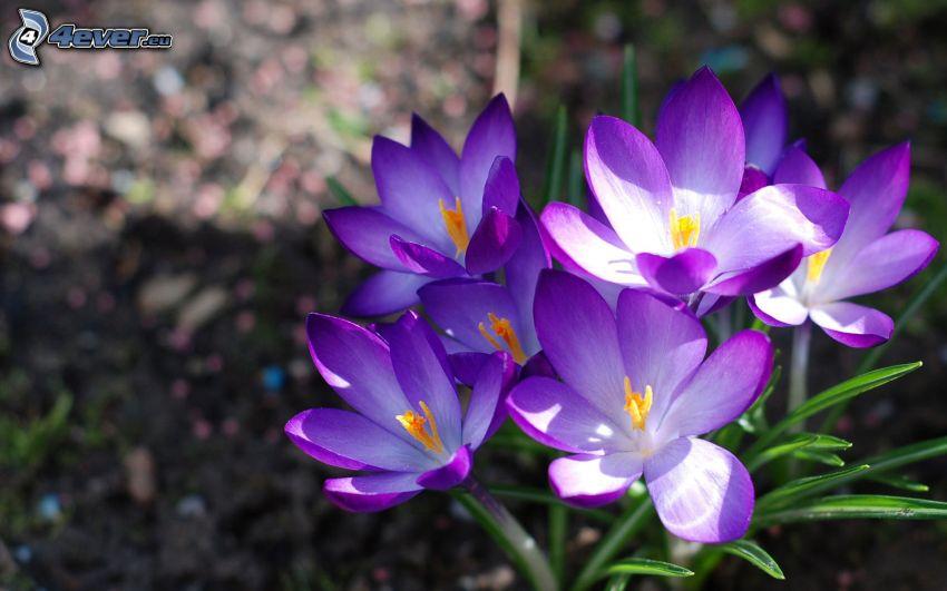 safrans, fleurs bleues