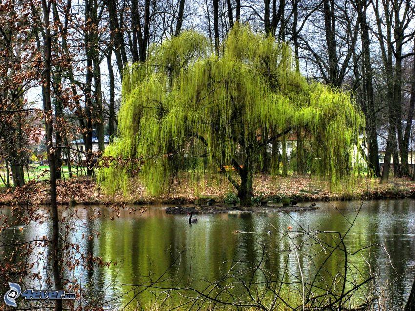 saule, rivière, arbres secs