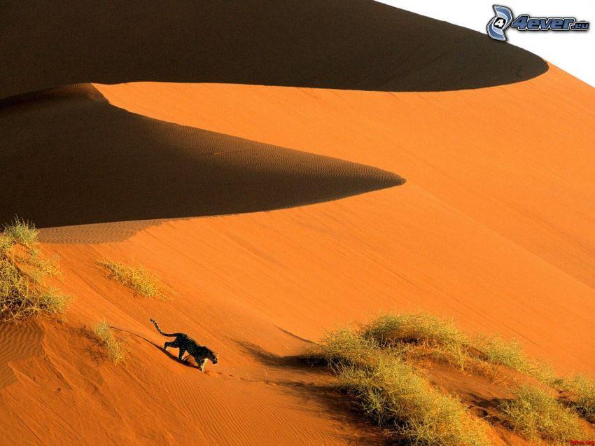 Sossusvlei, léopard, dune de sable