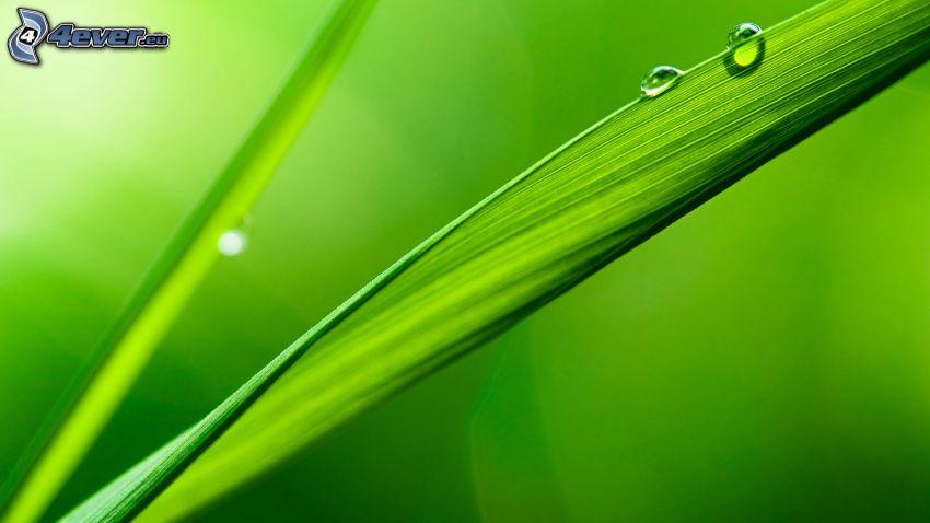 tige d'herbe, gouttes d'eau, macro